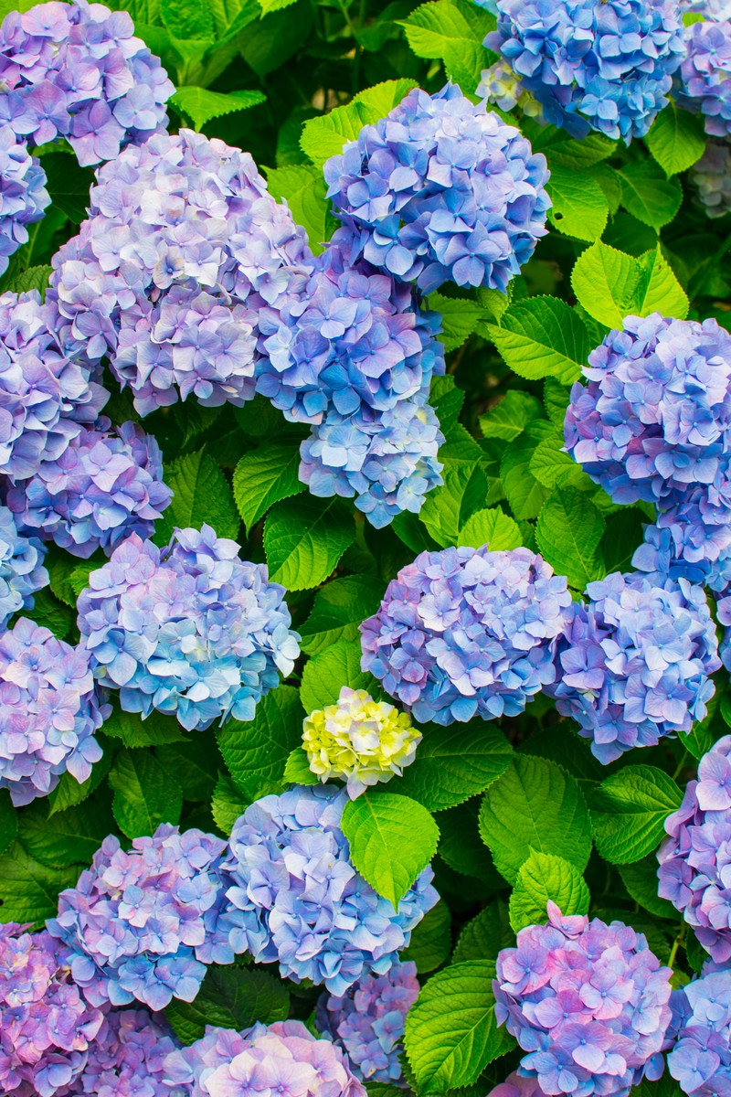 紫陽花 あじさい 家族